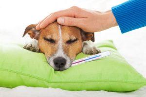 CBD-olie voor huisdieren