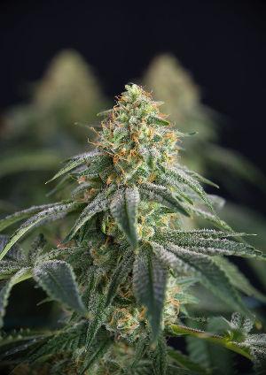 cbd olie of cannabisolie leeuwarden