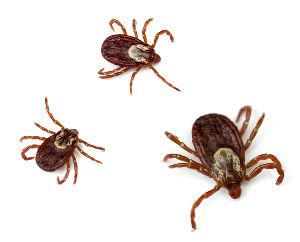 Ziekte van Lyme door teken