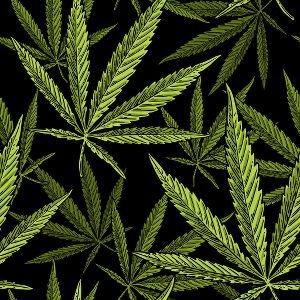 hennep voor zuivere cannabisolie